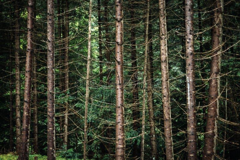 Dettagli europei carpatici dei tronchi di albero dell'abete rosso della natura del fondo fotografia stock