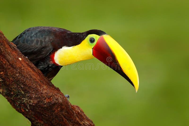 Dettagli il grande tucano di Chesnut-mandibled dell'uccello del becco che si siede sul ramo in pioggia tropicale con il fondo ver fotografie stock