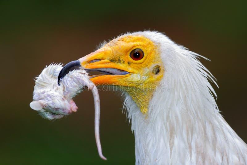 Dettagli il ritratto della rapace con il fermo, piccolo topo Avvoltoio egiziano, percnopterus del Neophron, con il topo di uccisi fotografie stock