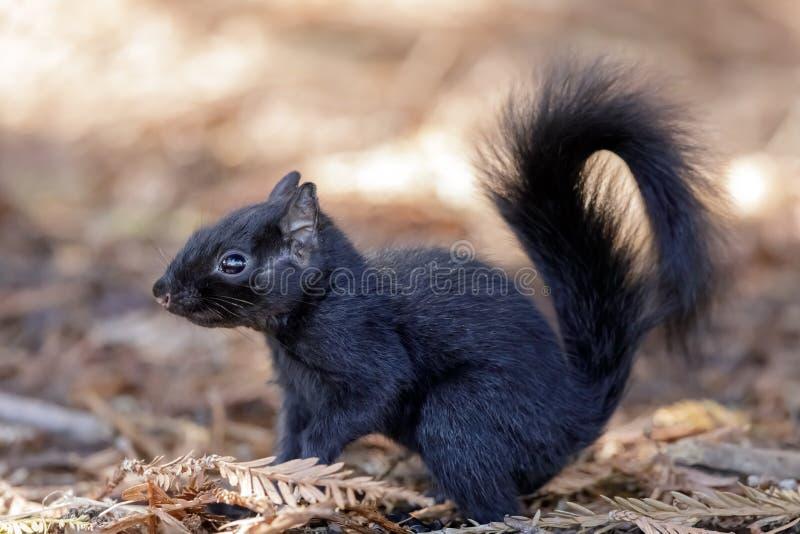 Dettagli orientali di Gray Squirrel morphed colore fotografia stock libera da diritti