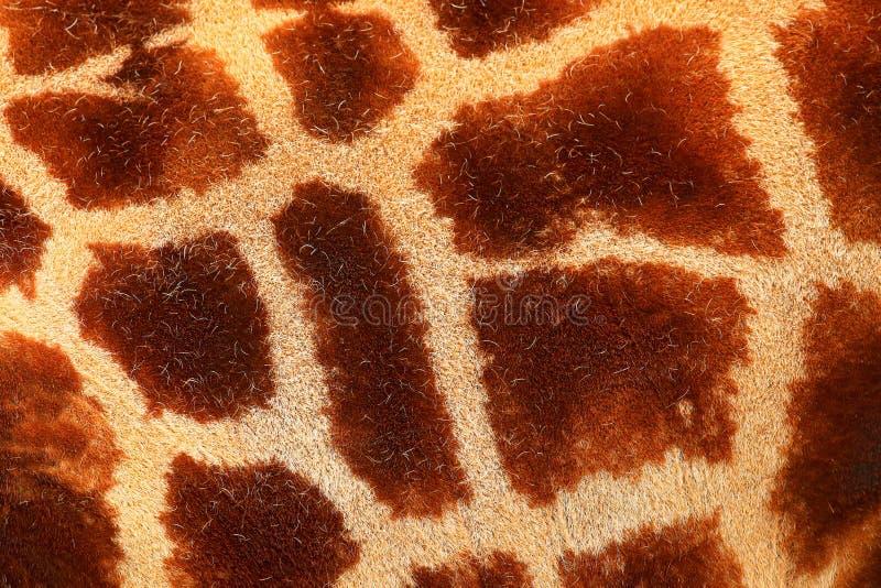 Dettagli se pelliccia macchiata della giraffa Bello dettaglio del primo piano dalla natura Luce Tshukudu di sera vicino a Kruger  fotografie stock libere da diritti