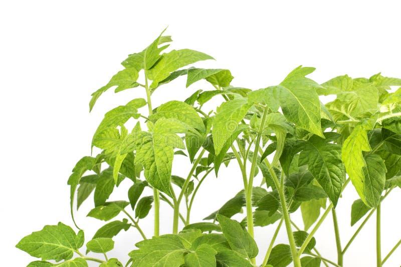 Dettagli su una pianta della piantina dei pomodori delle foglie isolata su una B bianca fotografia stock