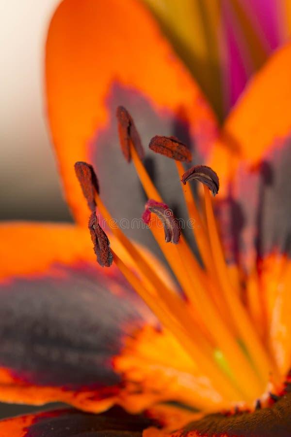 Dettaglio alto vicino di un giglio arancio e nero fotografia stock libera da diritti