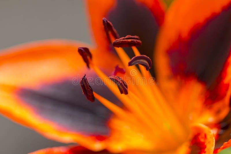 Dettaglio alto vicino di un giglio arancio e nero immagine stock