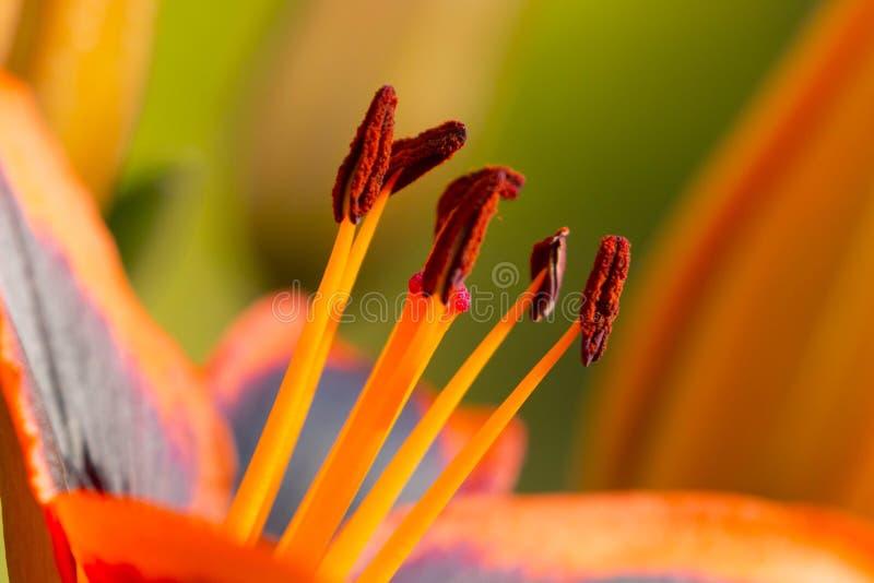 Dettaglio alto vicino di un giglio arancio e nero fotografia stock