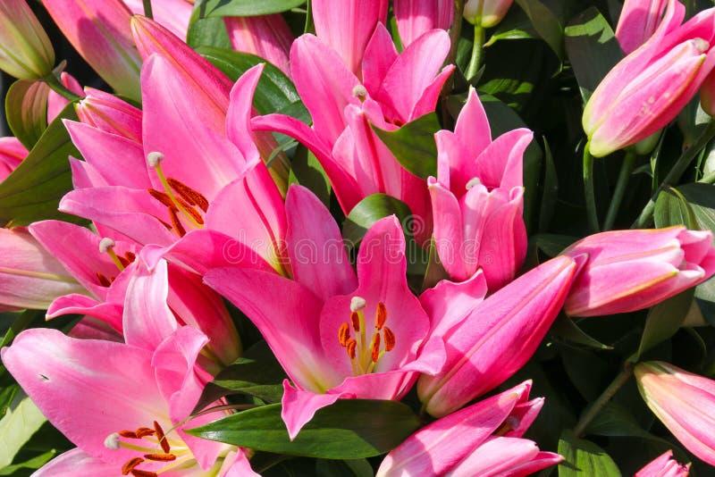 Dettaglio alto vicino di un giglio asiatico rosa fotografie stock