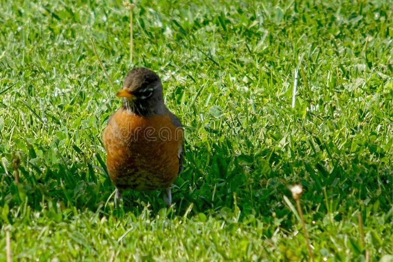 Dettaglio alto vicino di un uccello americano del pettirosso su erba verde immagine stock libera da diritti