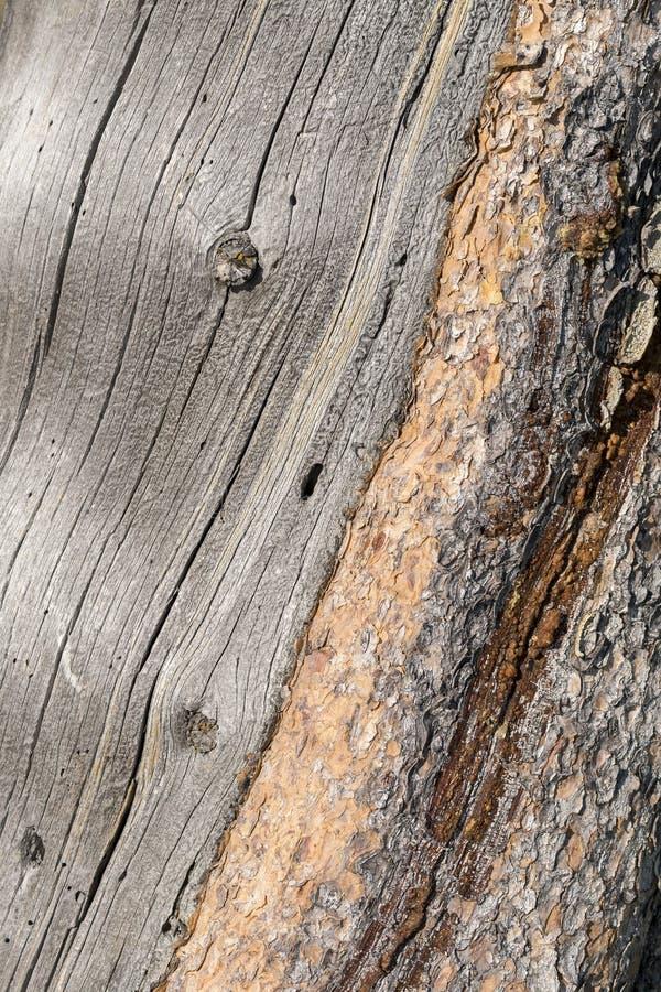 Dettaglio approssimativo e regolare del tronco di un albero in Yellowstone fotografia stock