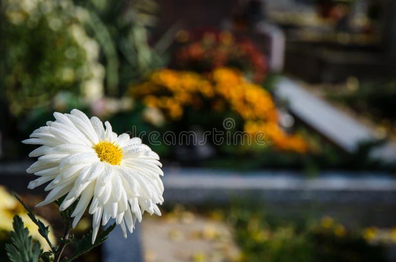 Dettaglio bianco del fiore del crisantemo immagini stock