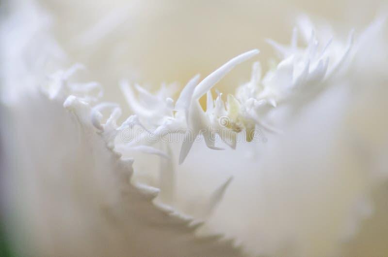 Dettaglio bianco del tulipano fotografia stock