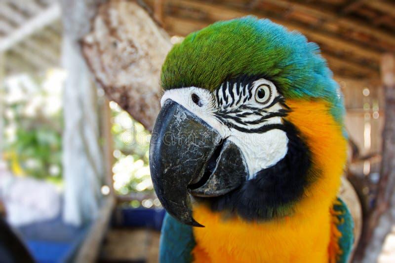 Dettaglio blu e giallo della testa dell'ara fotografia stock