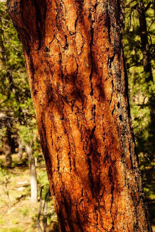 Dettaglio, corteccia di giovane pino di ponderosa immagine stock