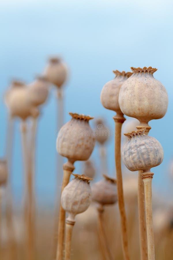 Dettaglio dei poppyheads dell'albero sul campo immagine stock