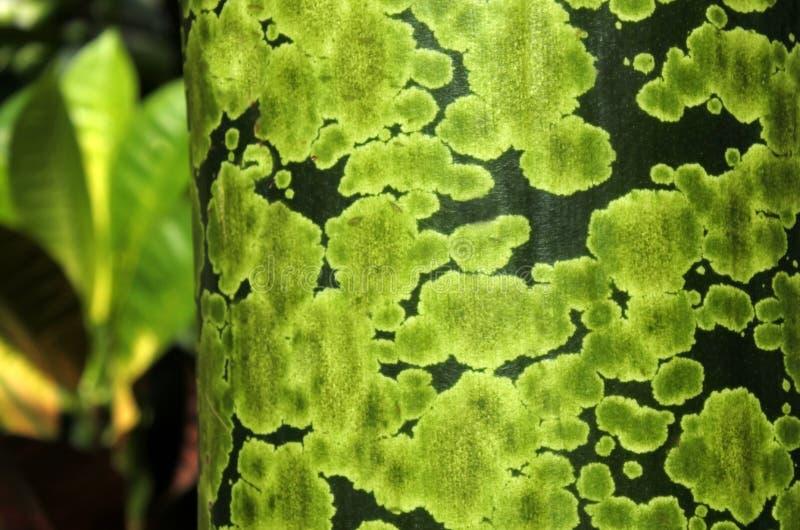 Dettaglio dei punti verdi sul tronco di albero tropicale fotografie stock libere da diritti