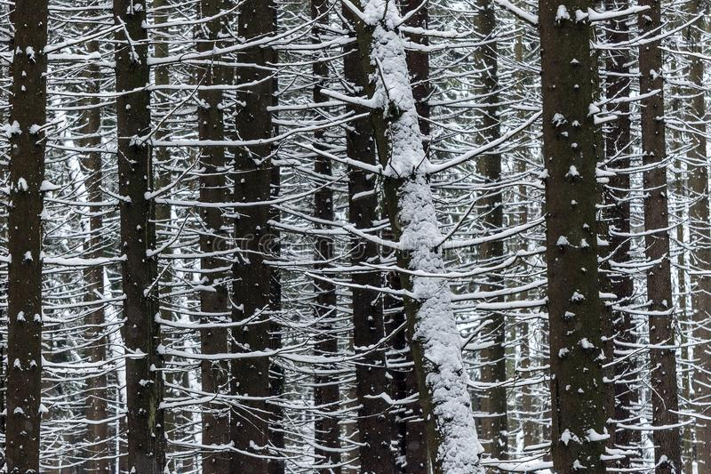 Dettaglio dei tronchi scuri in foresta nevosa densa nell'inverno fotografia stock libera da diritti