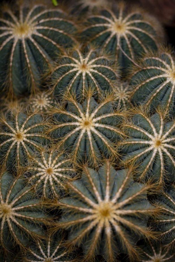 Dettaglio del cactus del pallone fotografia stock