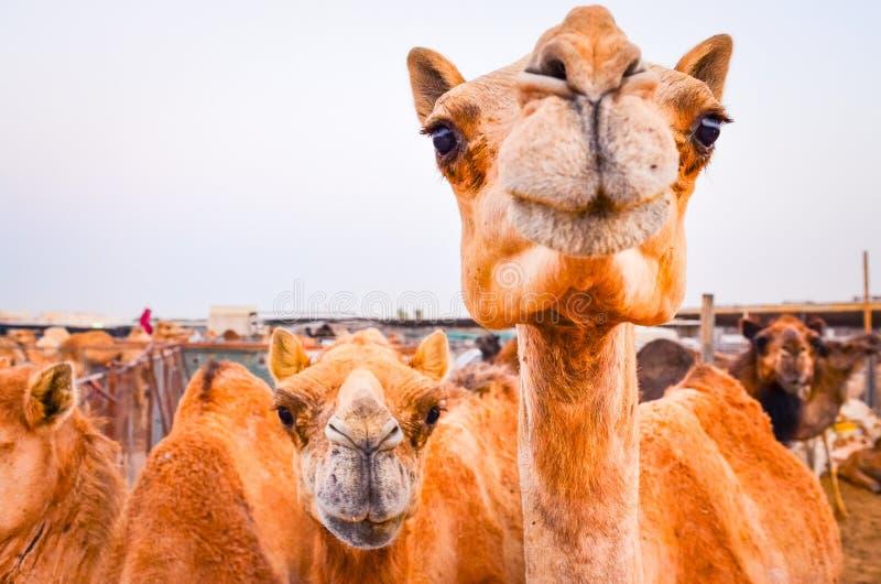 Dettaglio del cammello divertente che esamina la macchina fotografica fotografie stock
