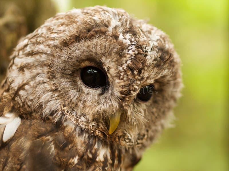 Dettaglio del fronte del aluco dello strige - Tawny Owl fotografie stock libere da diritti