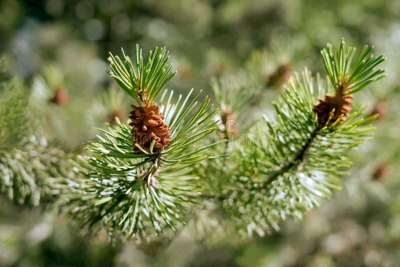 Dettaglio del primo piano di un ramo di albero attillato verde con i piccoli germogli delle pigne in sole luminoso un giorno di e fotografia stock