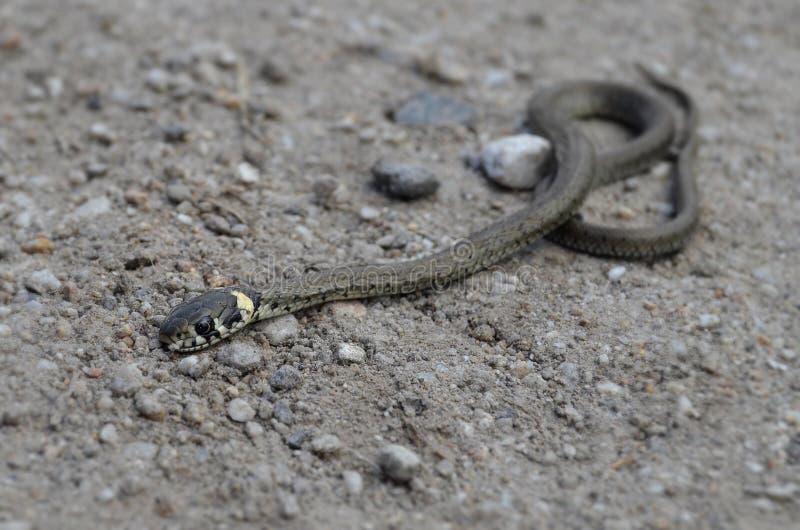 Dettaglio del serpente del bambino fotografia stock