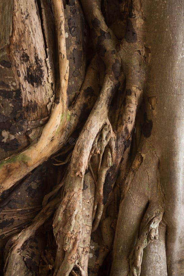 Dettaglio del tronco di albero del banyan fotografia stock libera da diritti