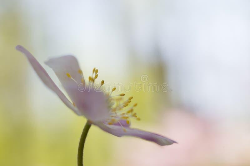 Dettaglio dell'anemone di legno con lo stame fotografie stock
