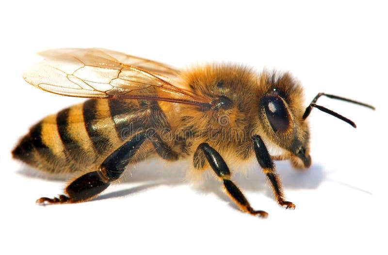 Dettaglio dell'ape o dell'ape mellifica, apis mellifera fotografia stock libera da diritti