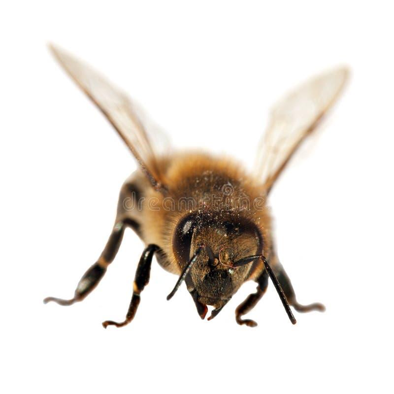 Dettaglio dell'ape o dell'ape mellifica, apis mellifera fotografie stock libere da diritti