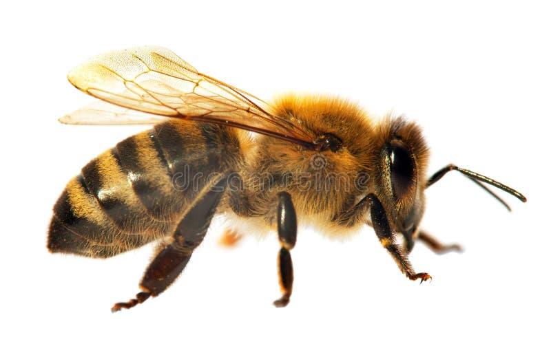 Dettaglio dell'ape o dell'ape mellifica in apis mellifera latino immagini stock