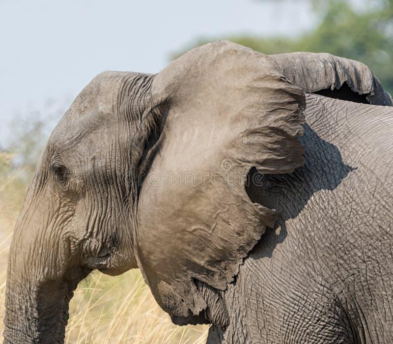 Dettaglio dell'elefante fotografia stock