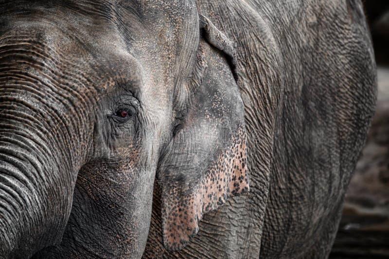 Dettaglio dell'elefante immagine stock