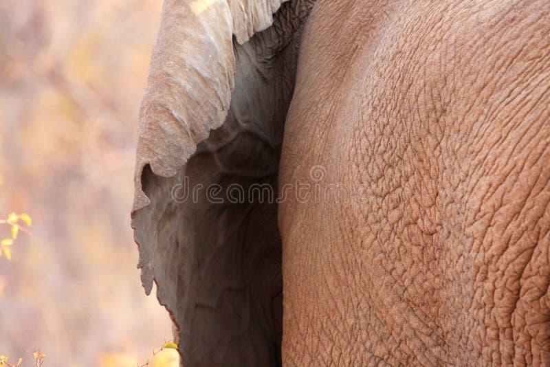 Dettaglio dell'orecchio di elefante fotografia stock libera da diritti