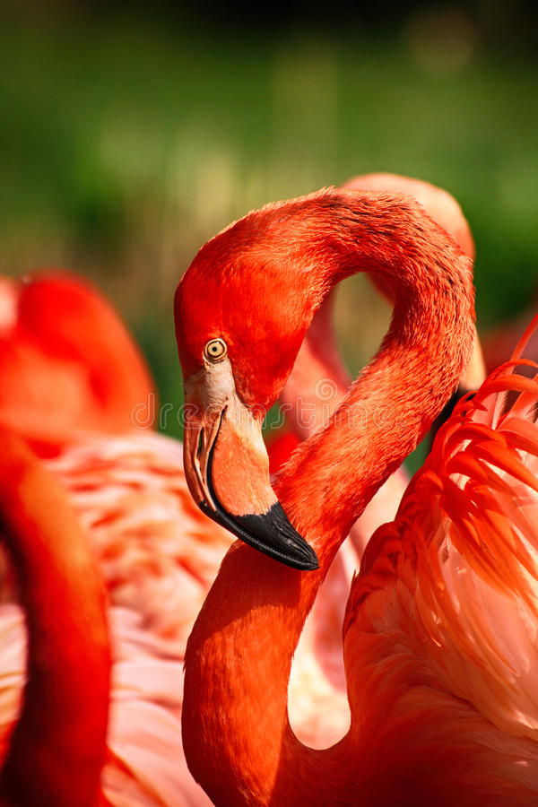 dettaglio dell'uccello del fenicottero fotografie stock libere da diritti