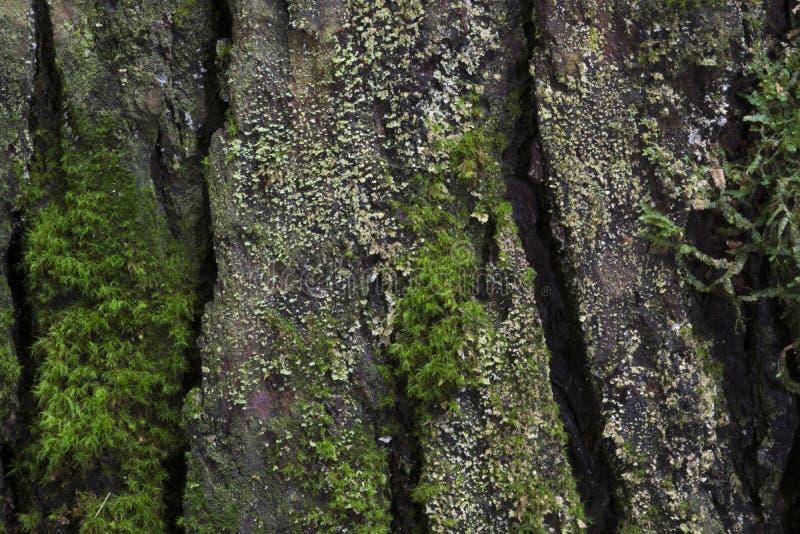 Dettaglio della corteccia con muschio fotografia stock