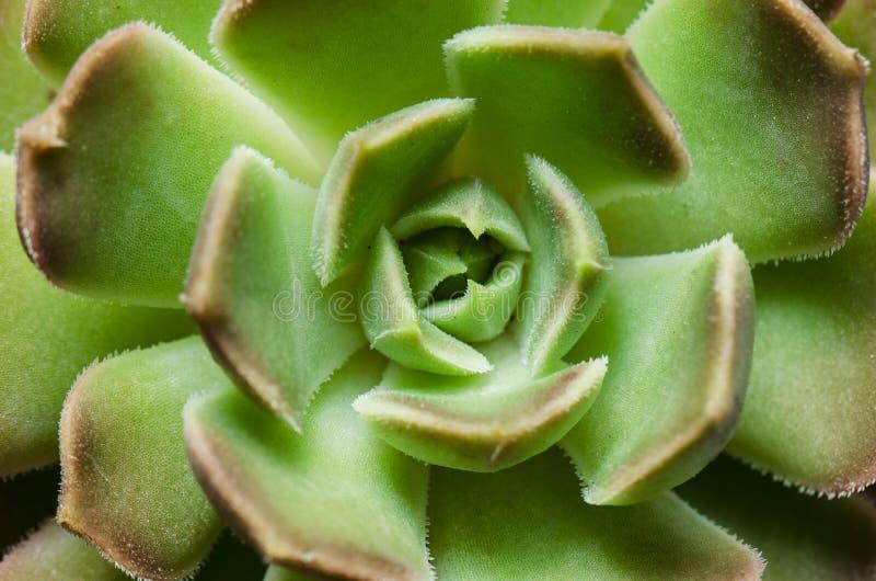 Dettaglio della crassulacee verde fotografie stock libere da diritti