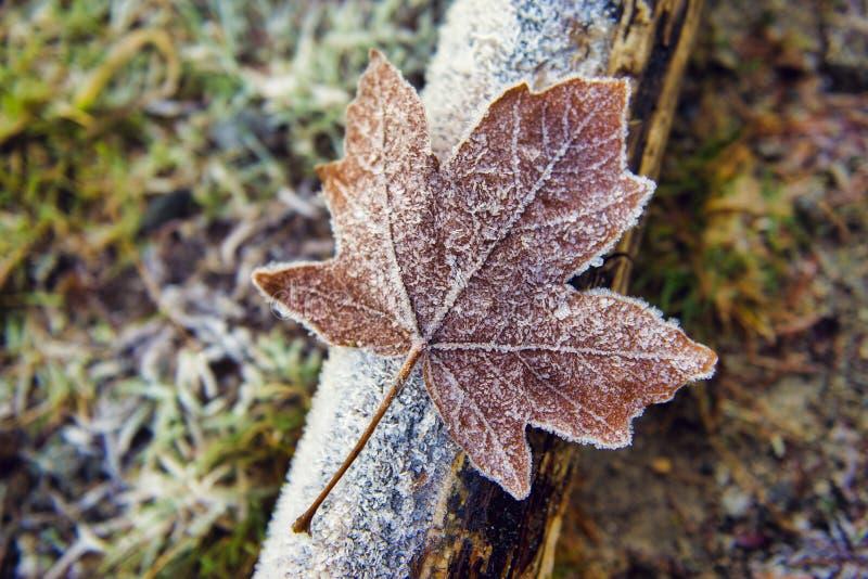 Dettaglio della foglia di acero caduta secca coperta di cristalli di ghiaccio fotografia stock