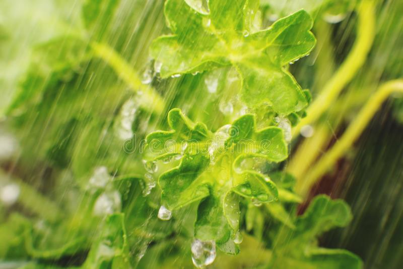 dettaglio della natura Fondo verde di struttura della foglia, foglie verdi sotto la corrente dell'acqua Concetto verde Fine in su immagine stock