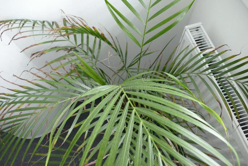 Dettaglio della palma in un vaso fotografia stock
