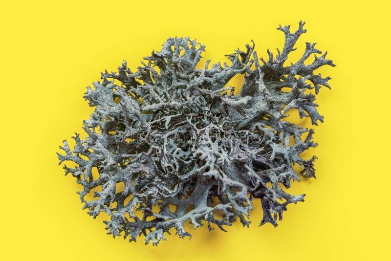 Dettaglio della struttura islandese di rangiferina di cladonia del lichene sul bordo giallo Foto organica astratta immagini stock libere da diritti