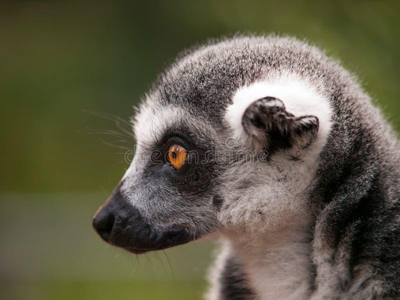 Dettaglio della testa delle lemure catta - catta delle lemure fotografia stock