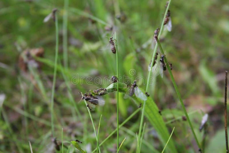 Dettaglio delle formiche di volo fotografie stock libere da diritti