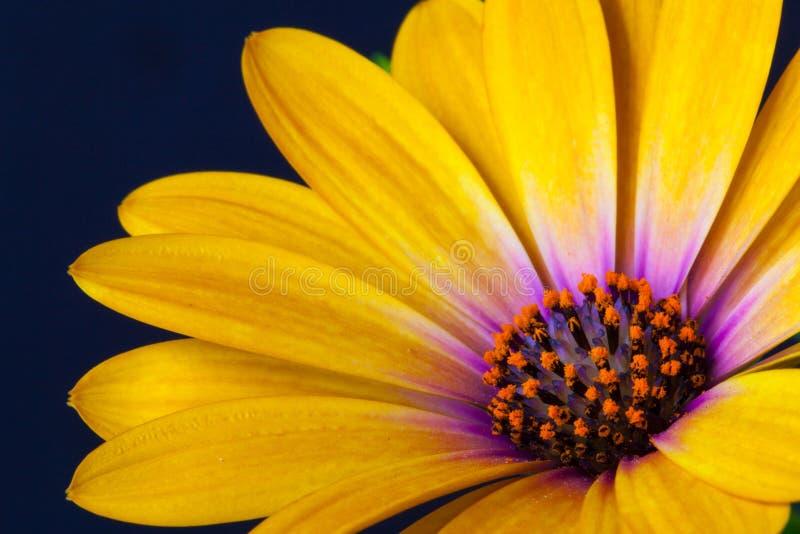 Dettaglio delle speci gialle del Dimorphotheca del tagete di capo Fiore sunf fotografia stock