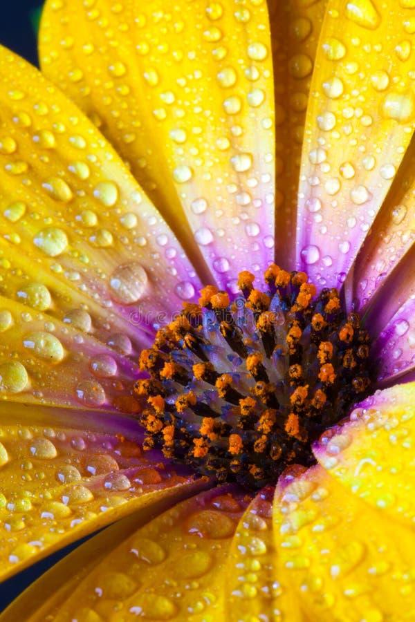 Dettaglio delle speci gialle del Dimorphotheca del tagete di capo Fiore sunf immagini stock