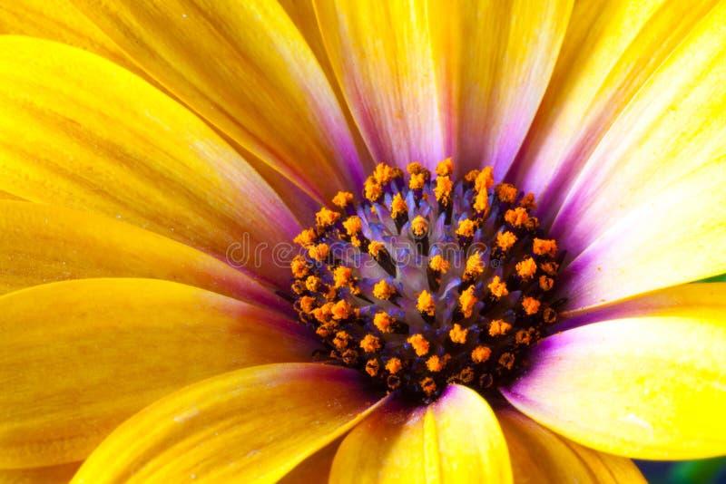 Dettaglio delle speci gialle del Dimorphotheca del tagete di capo Fiore sunf fotografie stock libere da diritti