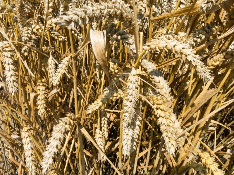 Dettaglio di grano, Olanda immagine stock libera da diritti
