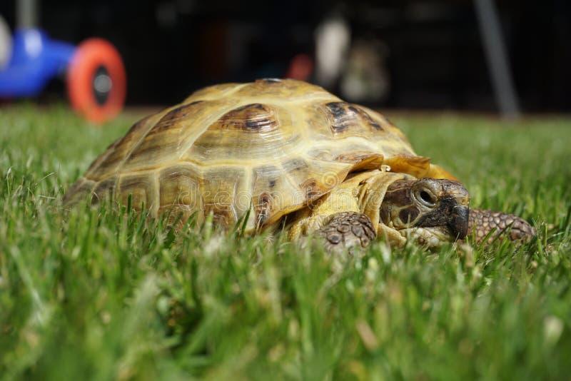 Dettaglio di piccola tartaruga che striscia nell'erba fotografie stock