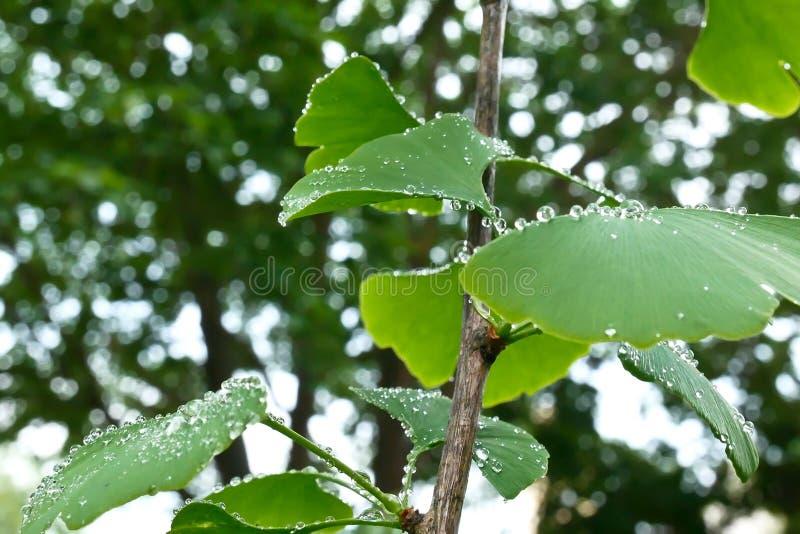 Dettaglio di piccolo albero del ginkgo immagine stock libera da diritti