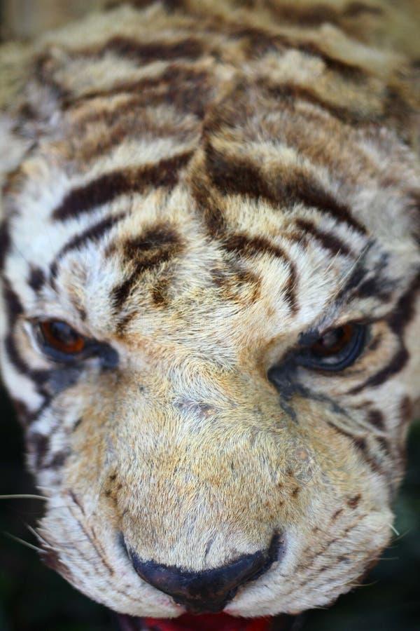Dettaglio di riempimento della tigre immagini stock libere da diritti