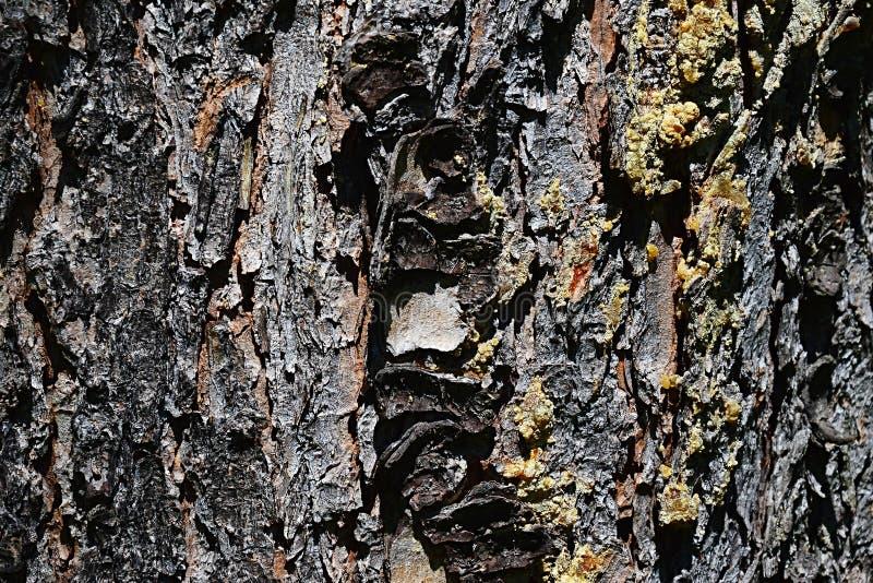 Dettaglio di struttura di legno della corteccia del pinus Wallichiana del pino del Bhutan della conifera immagini stock