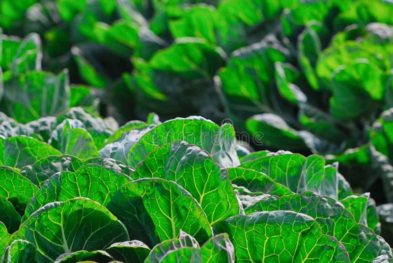 Dettaglio di un certo fogliame frondoso verde sulla costa centrale di California fotografia stock